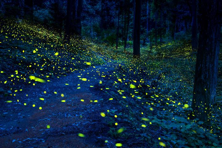 Bosques de Luciérnagas. Foto: ASTK FB