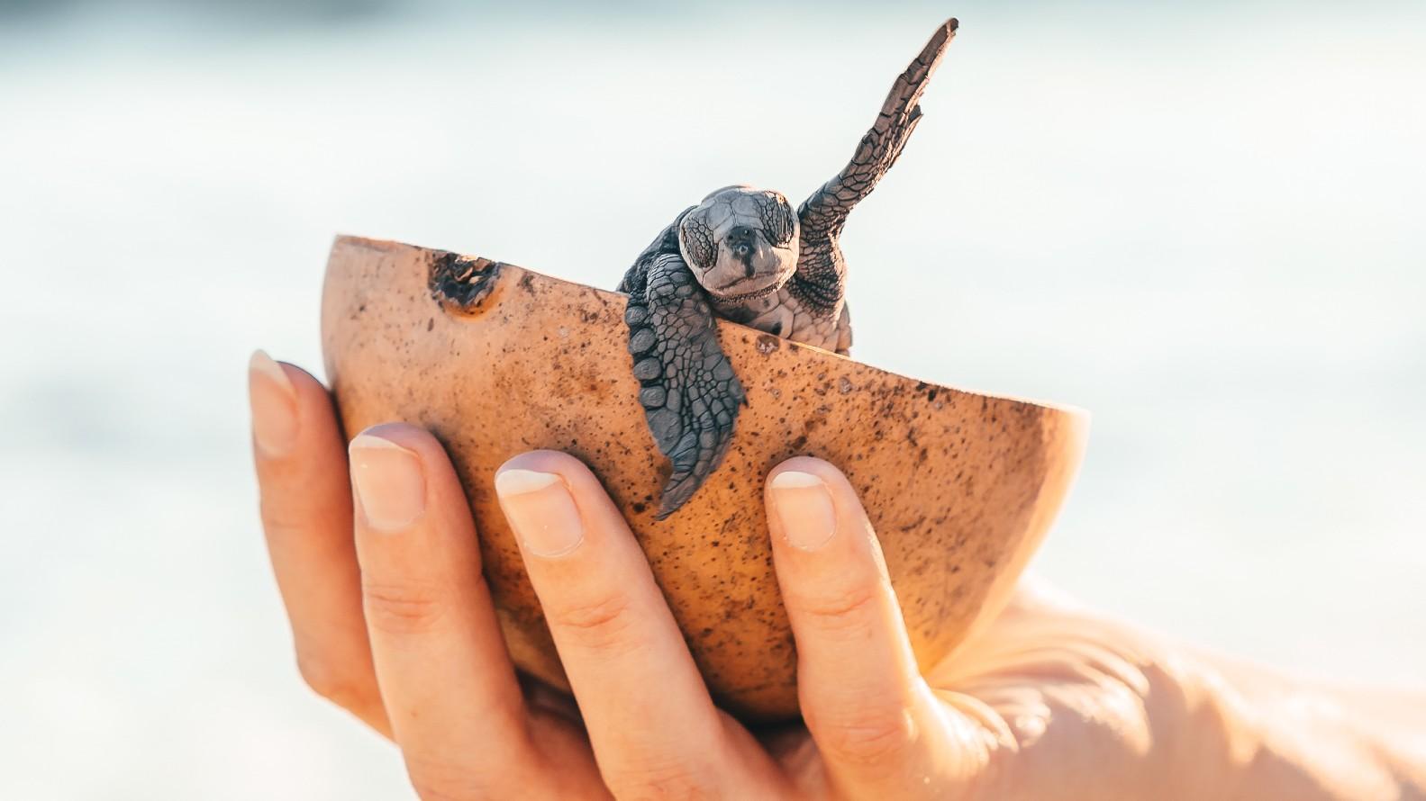 Liberación tortuga. Puerto Vallarta. Foto: JT ASTK