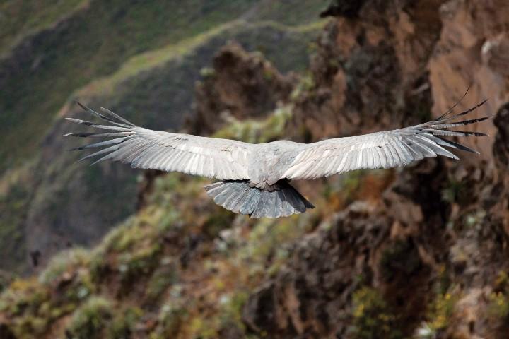 Condor-Andino_Foto_Revista-Lugares1468